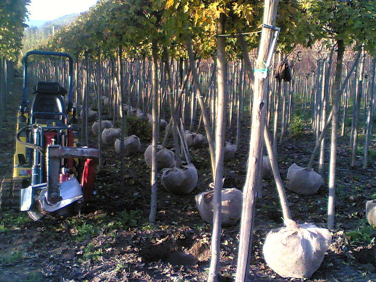 Vivai baldi andrea pistoia zollatura estrazione for Piante da frutto pistoia